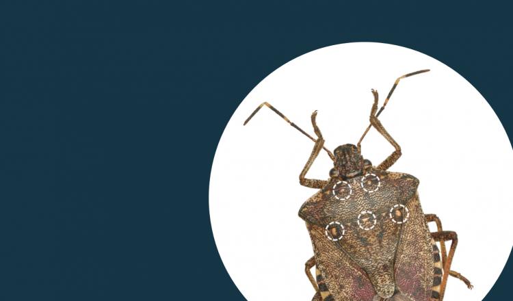Prospeção a Halyomorpha halys em Portugal